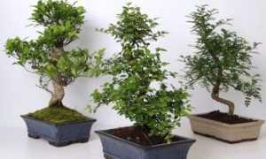 Как называется декоративное карликовое дерево